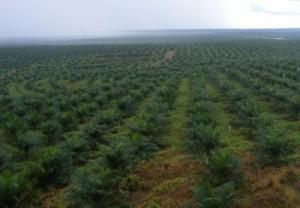 Bild einer weitreichenden Palmöl-Plantage