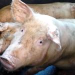 Ein Kartell des Schweigens! Landwirte wollen weiterhin Antibiotika einsetzen, obwohl Massentierhaltung antibiotikaresistente Keime fördert