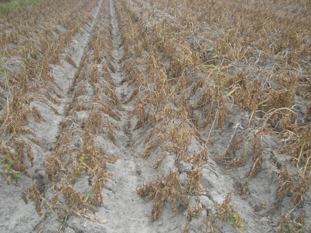 nach Behandlung von Pestizide, kurz vor der Ernte