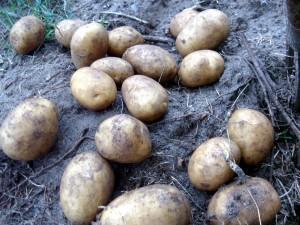 Faktencheck Kartoffeln  – Je früher, desto wüster – Kartoffelrevolution in China