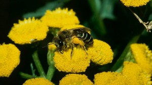 Seidenbiene (Colletes similis)