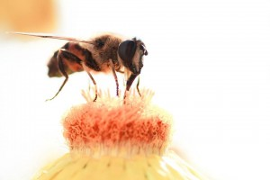 massensterben von bienen im sonnenblumenfeld in ungarn netzfrauen netzfrauen. Black Bedroom Furniture Sets. Home Design Ideas