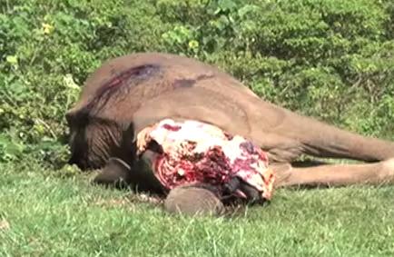 Elefanten Sterben Afrika