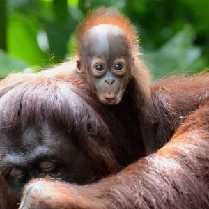 Biosprit für Europa – Tödlicher Feind der Orang-Utans