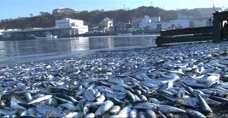 Fukushima: 100 Tonnen tote Sardinen an der Küste von Hokkaido angeschwemmt – Masses of dead sardines