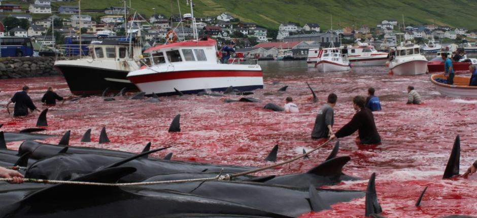 #BoycottTUI – Das brutale Walschlachten geht weiter – Walschützer in Haft – AIDA und Hapag-Lloyd stornieren Färöer-Inseln wegen Walfang – End Faroe island whale slaughter