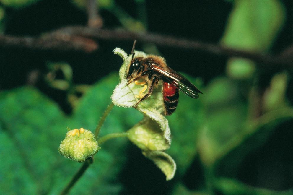Die Zaunrüben-Sandbiene (Andrena florea)  ist die Wildbiene des Jahres 2015