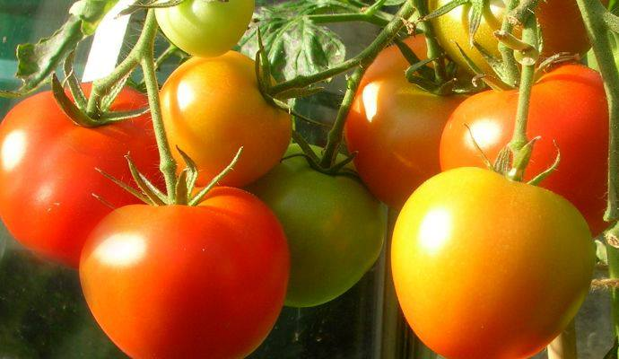 tomaten selbst anbauen 45 kilo tomaten aus f nf pflanzen 90 pounds of tomatoes from 5 plants. Black Bedroom Furniture Sets. Home Design Ideas
