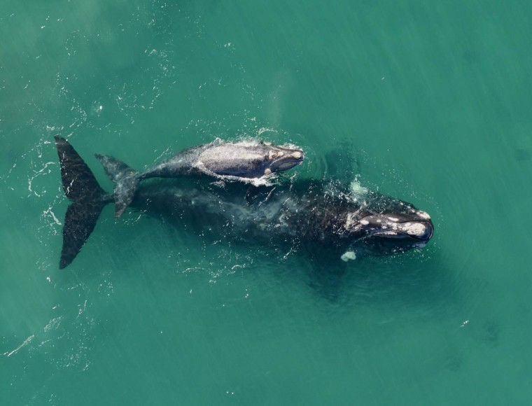 The whales usually use the warm calm waters of the Valdes Peninsula as a calving ground. John Atkinson/Ocean Alliance