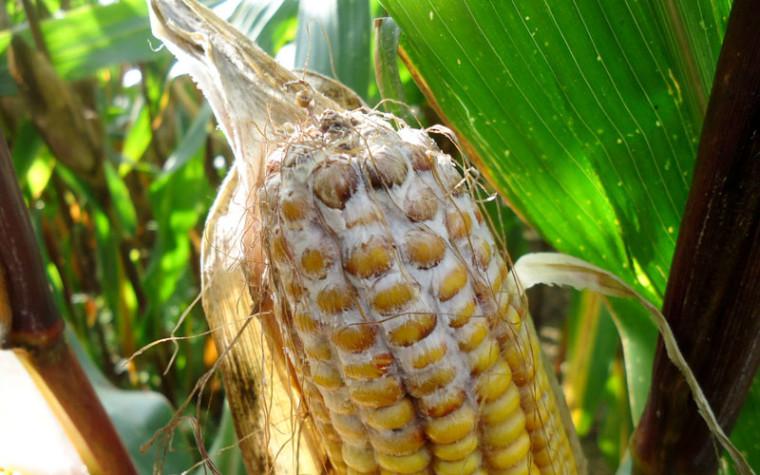 Glyphosat und Bodenbiologie – GMOs, Glyphosate and Soil Biology