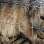 Gewusst? Für Fellbesätze werden in China jedes Jahr 70 Millionen Marderhunde getötet