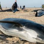 Wal-Tragödie in Calais – Nur drei Wale konnten gerettet werden