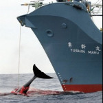 Super! Australien nimmt Streit mit Japan in Kauf und fordert mit weiteren 95 Nationen Ende des Walfangs – Australia joins 95 countries to condemn Japan's whale slaughter