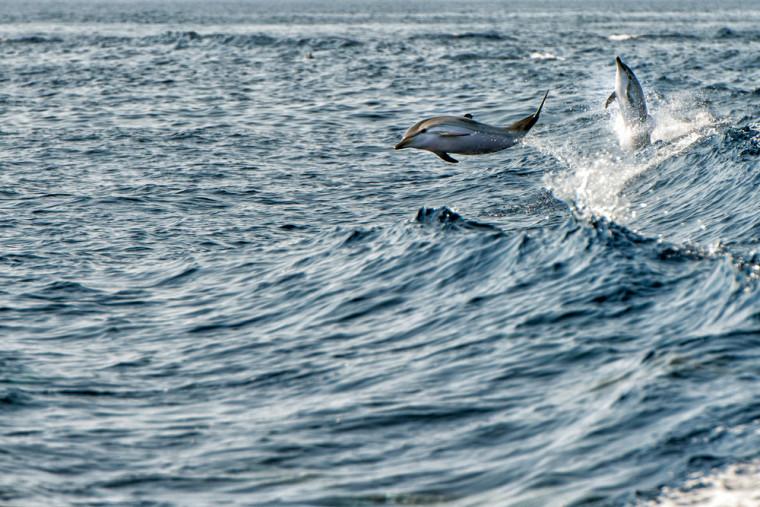 Die Studie befasste sich auch mit Streifendelphinen, Großen Tümmlern und dem Gewöhnlichen Schweinswal. Photo: Andrea Izzotti/Shutterstock