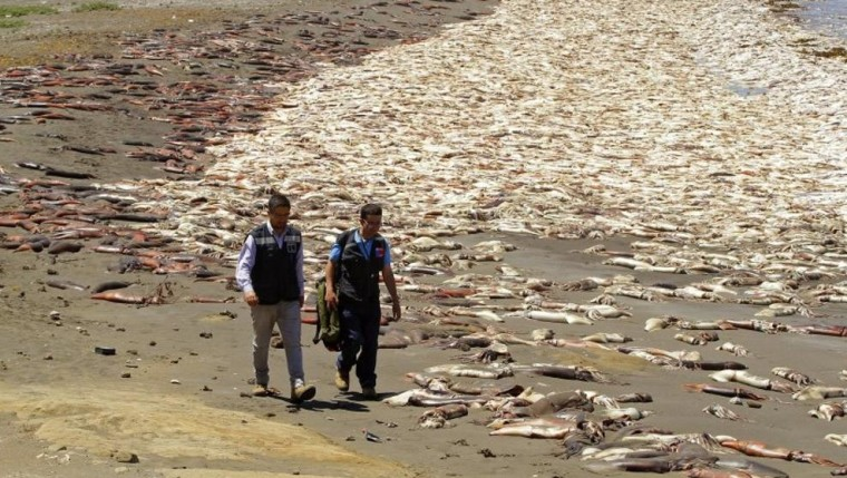 Riesenkalmar an einem Strand in Santa Maria gestrandet, Chile (US Fish - LV)