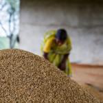Vorbildlich! Indiens Reis-Revolution – Weltrekordernte ohne Genmanipulation und ohne Pestizide