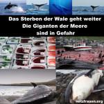 Das Sterben der Wale geht weiter