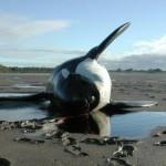 Neue Studie: Tödliche Chemikalien in europäischen Meeressäugern gefunden – Toxic Levels Of Chemicals Found In European Marine Mammals