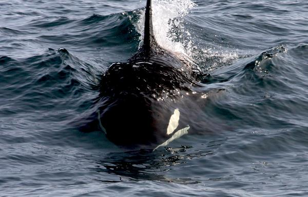 Orca are espcially vulnerable to PCBs as they are at the top of the food chain. This is one of the last eight surviving orca living off the north West coast of the U.K. ©Kerry Froud_Hebridean Whale and Dolphin Trust