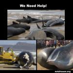 Walsterben geht weiter! Ölbohrtürme Wattenmeer – Plastikmüll in Spanien – Parasittenbefall in USA -Toxic Levels Of Chemicals Found In European Marine Mammals