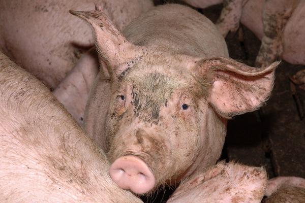 Schweine in einer Schweinemastanlage in Deutschland am 31.12.2004. Die Tiere werden innerhalb von 4-6 Monaten auf bis zu 120 kg gemästet. +++(c) dpa - Report+++