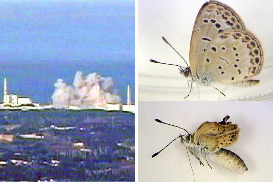 Schmetterling Fuku