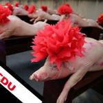 #Schweinefleischpflicht –  Denn sie wissen nicht mehr, was sie tun…