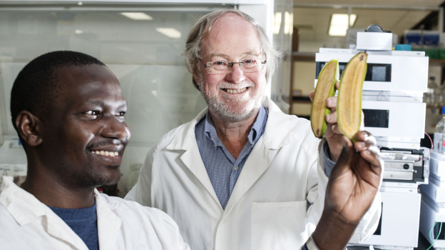Ugandan researcher Stephen Buah and Professor James Dale hold bananas bred to be rich in vitamin A at Queensland University of Technology