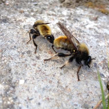 Bienen_bees