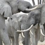 Kenia verbrennt 106 Tonnen Elfenbein – ca. 40 Tausend Elefanten werden jedes Jahr in Afrika wegen Elfenbein getötet.