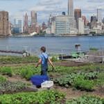 """New York """"Eine Stadt macht satt"""" - """"Urban Farming"""" heißt der Trend, der ganz New York erfasst hat"""