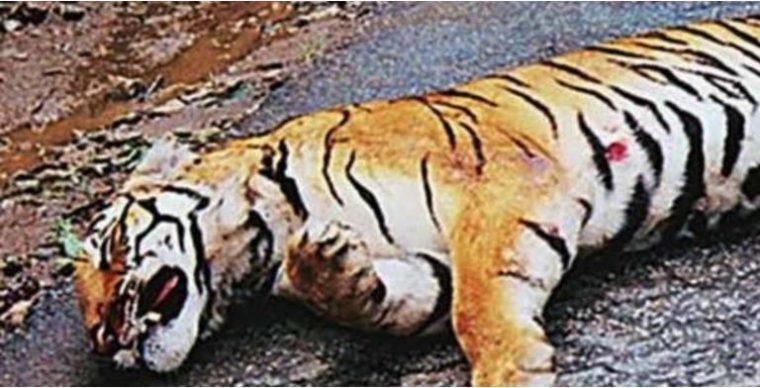 Tiger55