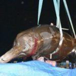 Trotz  Protesten aus aller Welt hat Japan seine Walfänger wieder losgeschickt – Baird's beaked whale is first catch of season