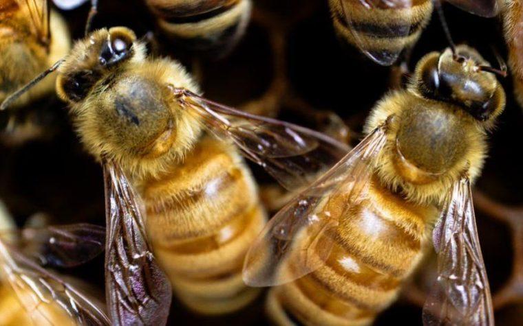 Bienen2