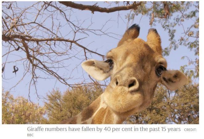 Giraffen7