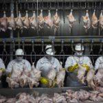 Was für Qualen! Die Hähnchen werden ohne Betäubung geschlachtet! - If consumers knew how farmed chickens were raised, they might never eat their meat again!