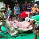 China: Kühe werden lebend gehäutet und ihre Beine werden abgehackt, damit sie sich nicht bewegen können! - China: Cows skinned skinned alive for leather have their limbs cut off to prevent movement!