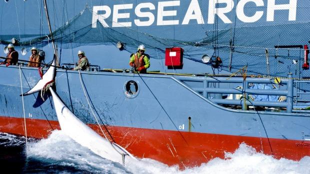 https://netzfrauen.org/2016/06/09/trotz-proteste-aus-aller-welt-hat-japan-seine-walfaenger-wieder-losgeschickt-bairds-beaked-whale-is-first-catch-of-season/