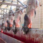Weit mehr als nur Gammelfleisch - Woher kommt unser täglich Fleisch?