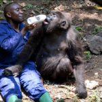 Virunga National Park- Heimat der Berggorillas durch Ölbohrungen wieder bedroht - Öl gegen Gorillas