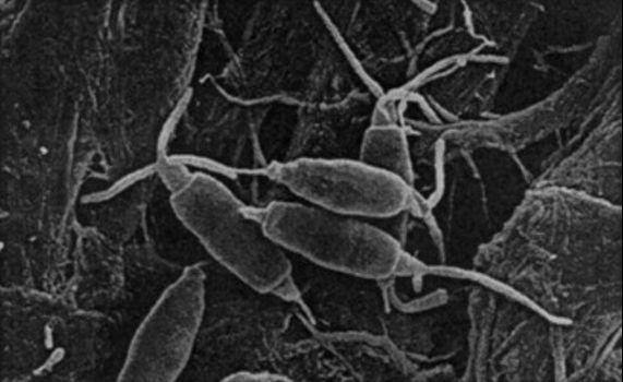 Pestalotiopsis microspora,