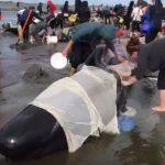 Massensterben der Wale und Delfine geht weiter – nach Florida und Schottland jetzt Neuseeland!