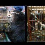 Erschreckende Grausamkeiten: Bären leiden für Bärengalle und Tiger auf Tigerfarmen, wo sie in Wein verwandelt werden