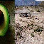 Könnten Avocados sprechen, würden sie von Morden durch Kartelle, miserablen Arbeitsbedingungen, Hungerlöhnen und ökologischem Desastern berichten!