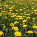 Sag mir wo die Blumen sind … Das Bienensterben geht auch 2017 weiter
