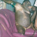 Grausam! Orang-Utan-Bordelle in Indonesien