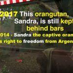 Die herzzerreißende Geschichte der Orang-Utan-Dame Sandra!