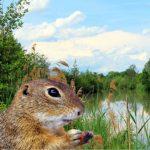 Mitten in Europa: Tschüss zum Artenschutz - Terroranschlag auf Ziesel - eine Gattung der Erdhörnchen