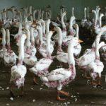 Money, Money, Money - Wie die EU das unsägliche Leid der Gänse in Polen finanziert! Polen ist größter europäische Produzent und Exporteur von Gänsen - Tierqualen inklusive!