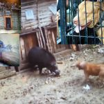 Bestialisch! Brutale Wildschwein-Hundekämpfe zur traditionellen Belustigung! –  Bloody spectacle – End Dog and Wild Boar Fighting in West Java